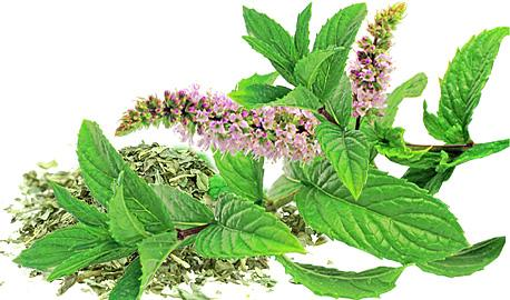 Herbal Teas Express - Mint