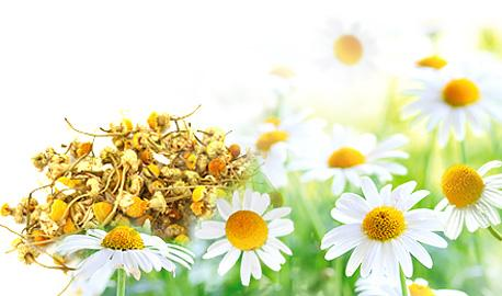 Herbal Teas Express - Camomile